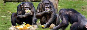 Ähnlich fair wie Menschen: Affen haben Gerechtigkeitssinn