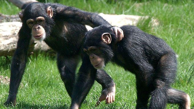 Forscher untersuchten in Uganda Urin von Schimpansen, um den Oxytocinspiegel zu messen.