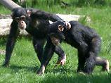 Liebeshormone bei Schimpansen: Auch Affen kuscheln