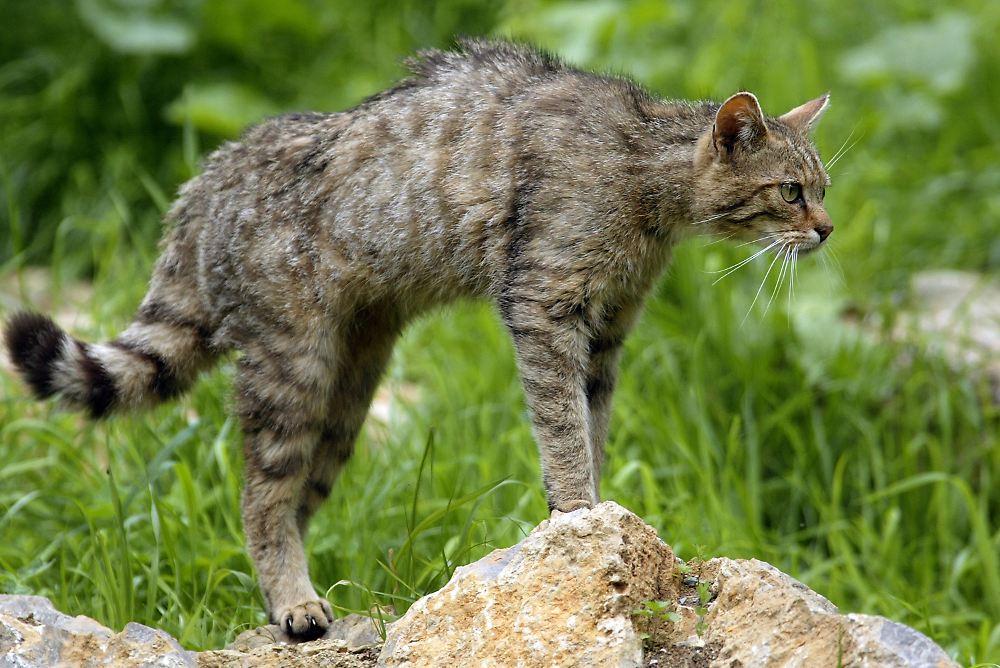 Wild Cat Breeds In Texas
