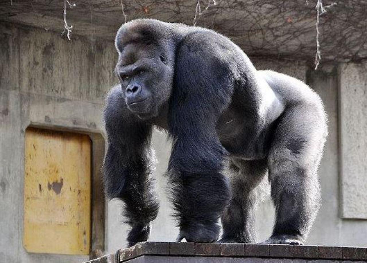 Charmant Gorilla Muskelanatomie Bilder - Anatomie Von Menschlichen ...