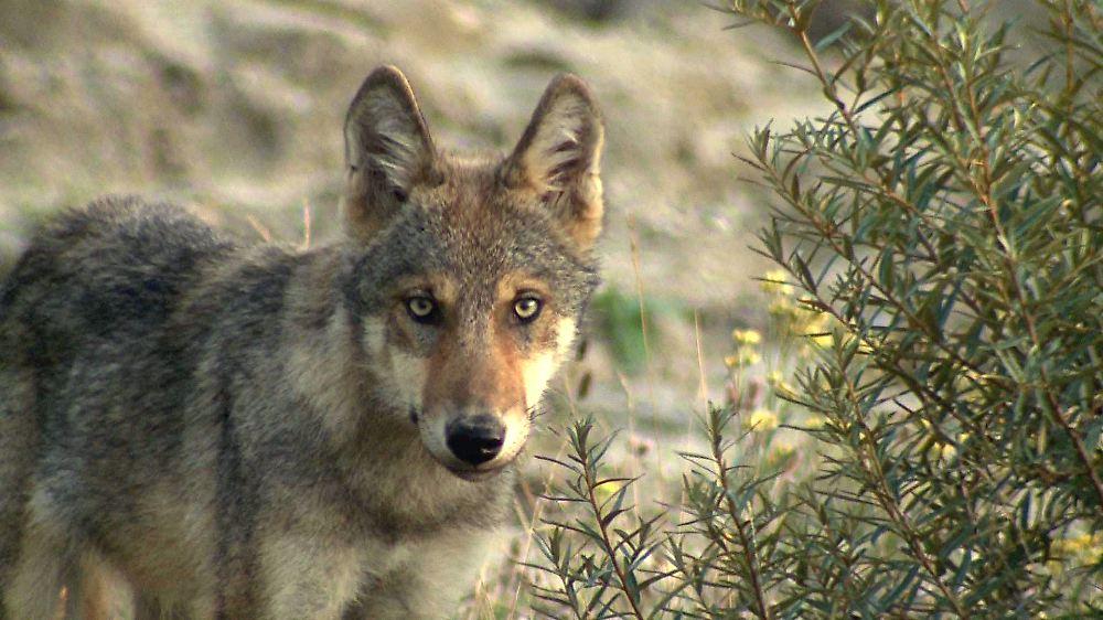 totes tier gefunden nach 150 jahren wolf durchstreift baden w rttemberg n