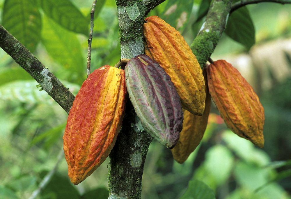 Schokolade bald teurer?: B�rse macht Kakao-Industrie zu schaffen ...