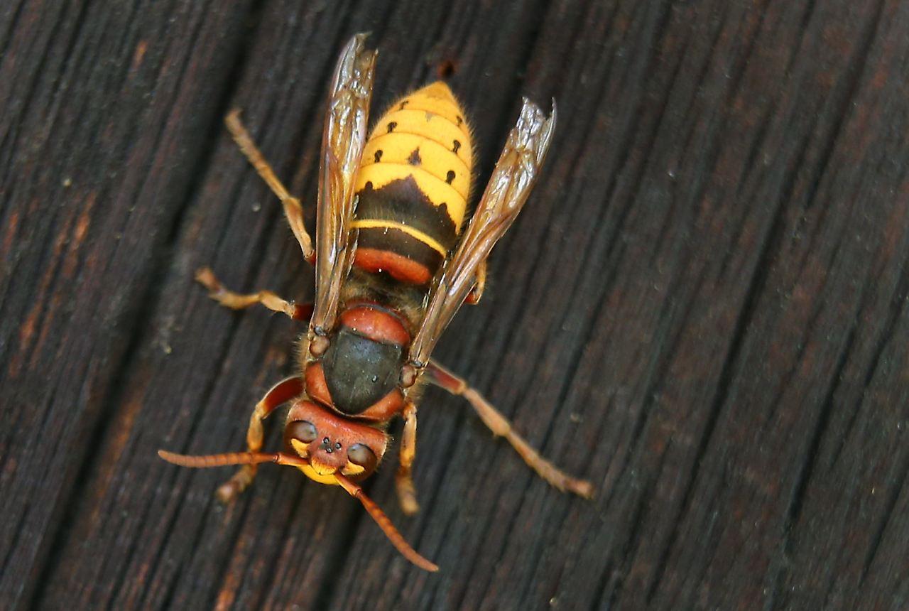 acht menschen verletzt hornissen attackieren rentnergruppe n. Black Bedroom Furniture Sets. Home Design Ideas