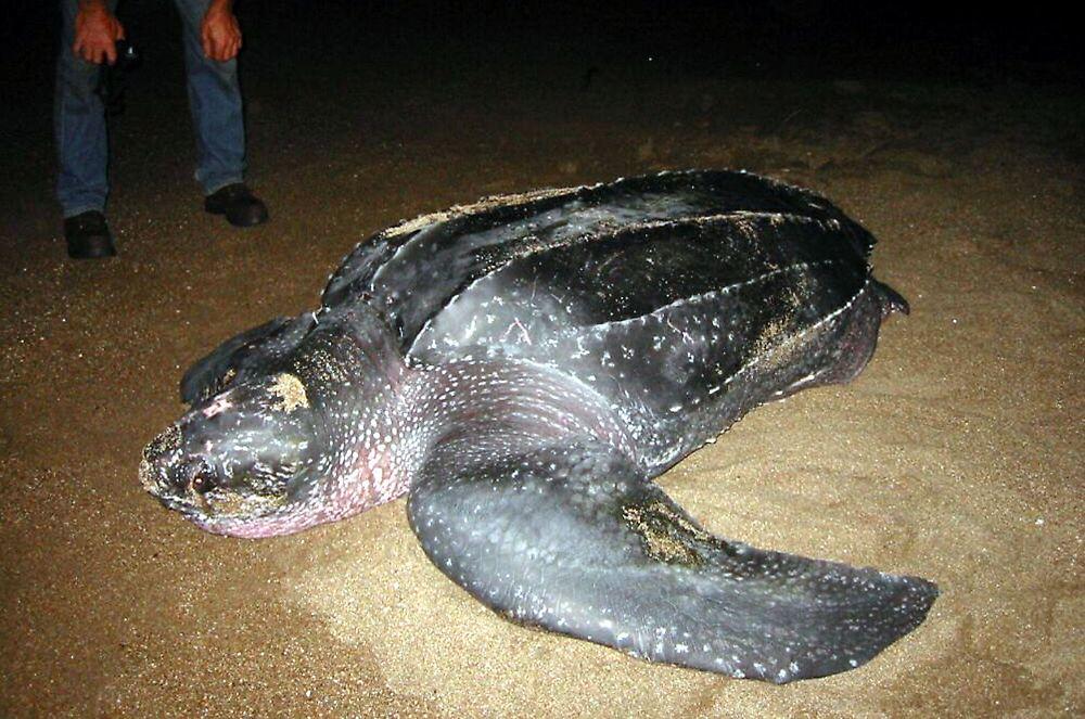 lederschildkröten lange unterwegs tausende kilometer zur
