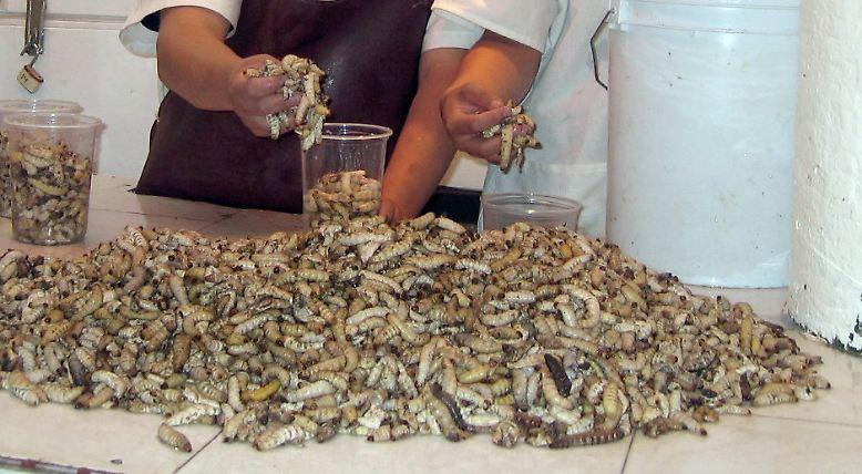 Es gibt Pflanzen und Tiere, die zwar grundsätzlich essbar sind, jedoch als Nahrungsmittel gemieden werden – zumindest in einigen Kulturkreisen. Was für die einen als Tabu auf dem Teller gilt, ist für andere mitunter eine schmackhafte Delikatesse. Weltweit gelten die Chinesen als das Volk mit den wenigsten Nahrungstabus. In Mitteleuropa sind es die Franzosen.