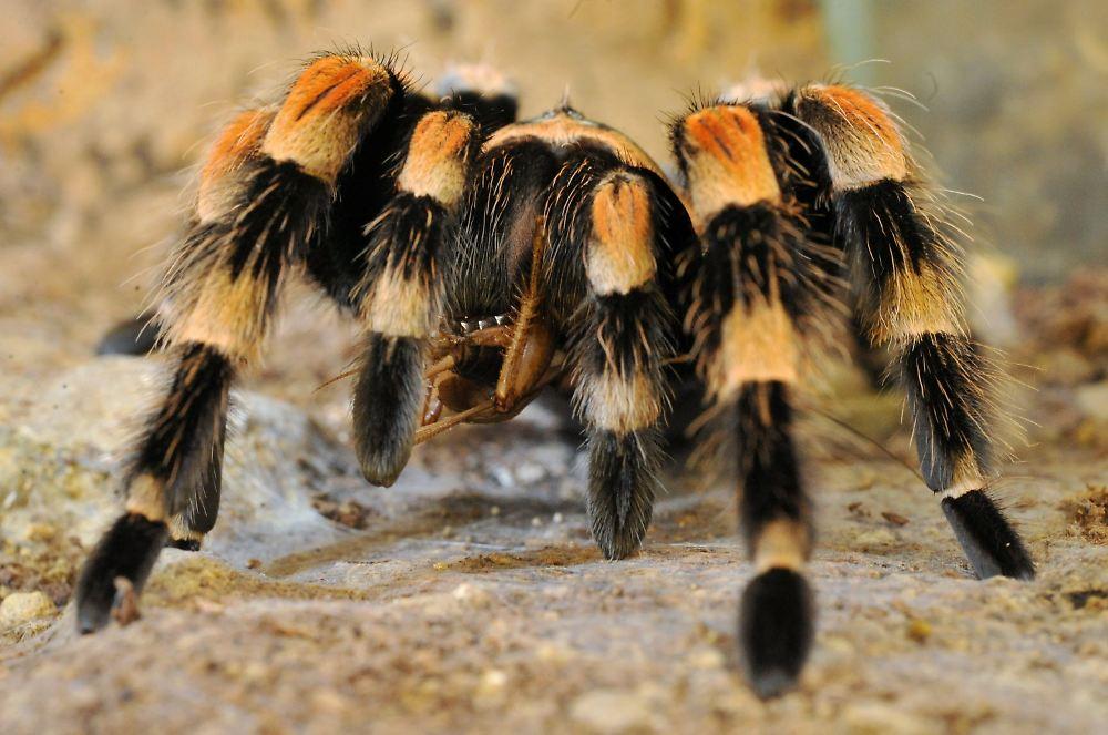 jugendwunsch erf llt mit 50 vogelspinnen unter einem dach n. Black Bedroom Furniture Sets. Home Design Ideas