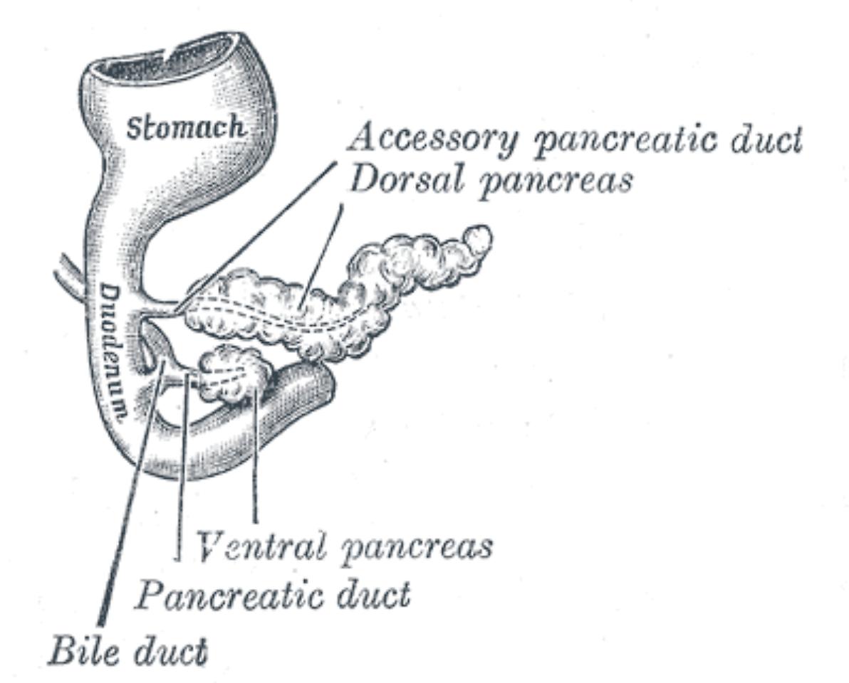 Charmant Wo Ist Ihre Bauchspeicheldrüse Fotos - Menschliche Anatomie ...