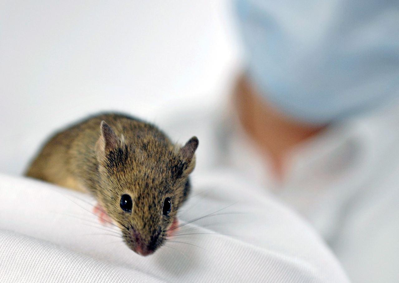 Angstauslöser in den Genen: Mäuse können Katzen riechen