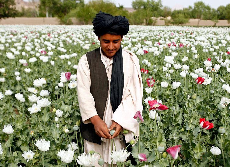Schlafmohn zerstört das Leben von Süchtigen und dennoch hält er die Kleinbauern Afghanistans über Wasser. Ein Teufelskreis.